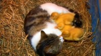 The cat and the Ducklings