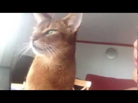 Abyssinian Cat Demands More Kisses From Girl