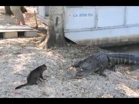 Cat Saves Boy From Alligators, Scares Them Away