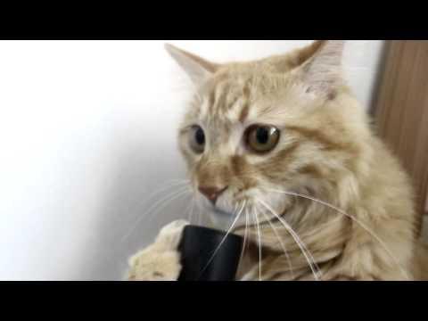 Cat plays with vacuum cleaner