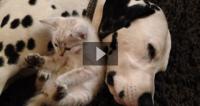 Incredibly Cute! Kitten Cuddles With Sleepy Dalmatian!