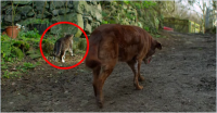 A Loving Cat Helps His Best Friend, A Blind And Partially Deaf Dog, Get Around.
