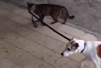 This Cat Walking A Dog Is The Most Interesting Thing You Will See Today