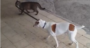 cat-walks-dog