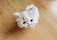 This is Napoleon The Cat And He Is Ridiculously Adorable